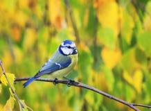 一只美丽的矮小的蓝冠山雀的画象坐分支阿门 库存图片