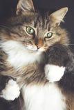 一只美丽的红发猫的葡萄酒画象 免版税图库摄影
