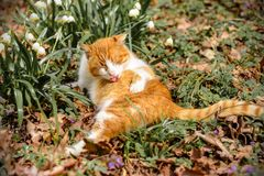 一只美丽的红色猫在春天森林在雪爬犁附近 免版税库存照片