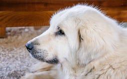 一只美丽的纯血统牧羊犬的画象 免版税库存图片