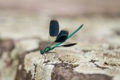 一只美丽的绿色和蓝色蜻蜓的特写镜头 免版税库存照片