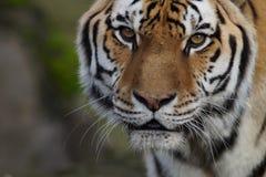 一只美丽的罕见的阿穆尔河老虎的特写镜头 库存图片