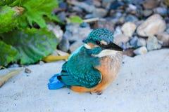 一只美丽的翠鸟 免版税库存图片