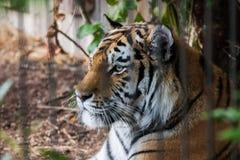 一只美丽的老虎在动物园里 免版税库存图片