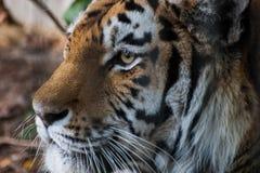 一只美丽的老虎在动物园里 图库摄影