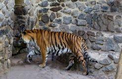 一只美丽的老虎的特写镜头,在石墙背景  免版税库存照片