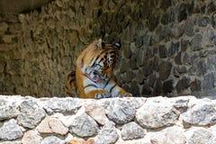 一只美丽的老虎的特写镜头,在石墙背景  库存照片