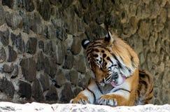 一只美丽的老虎的特写镜头,在石墙背景  免版税库存图片