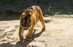 一只美丽的老虎的特写镜头,在绿色树背景  免版税库存照片