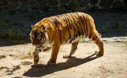 一只美丽的老虎的特写镜头,在绿色树背景  免版税库存图片