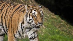 一只美丽的老虎的特写镜头 免版税库存图片