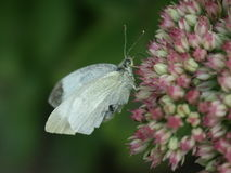 一只美丽的荷兰蝴蝶 免版税库存照片