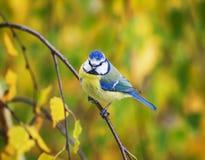 一只美丽的蓝冠山雀的画象坐在双桅船中的一个分支 库存照片