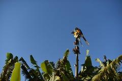 一只美丽的蓝色金刚鹦鹉在充分的蓝天休息 库存图片