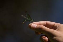 一只美丽的蓝色蜻蜓坐手在河附近 免版税图库摄影