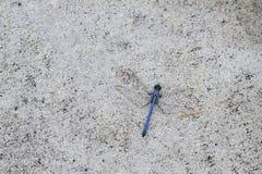 一只美丽的蓝色蜻蜓 库存图片