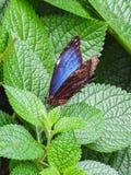 一只美丽的蓝色morpho蝴蝶坐叶子 库存照片