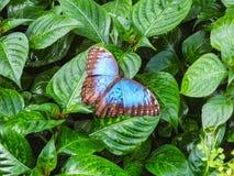 一只美丽的蓝色morpho蝴蝶坐叶子 库存图片