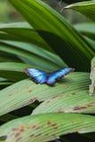 一只美丽的蓝色morpho蝴蝶坐叶子 免版税库存图片