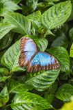 一只美丽的蓝色morpho蝴蝶坐叶子 免版税图库摄影
