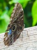 一只美丽的蓝色morpho蝴蝶坐树 免版税库存图片