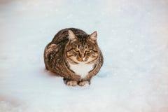 一只美丽的蓬松姜猫的特写镜头与白色乳房的在新鲜的雪在一个晴朗的冬日 库存图片