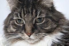 一只美丽的蓬松猫的画象在轻的背景的 免版税库存图片