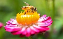 一只美丽的蜂和花的美妙的照片每晴天 免版税库存图片