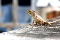 一只美丽的蜥蜴 免版税库存图片