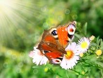 一只美丽的蝴蝶 库存图片