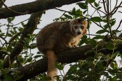 一只美丽的被加冠的狐猴的照片画象 免版税库存图片