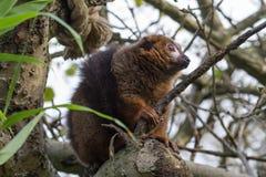 一只美丽的被加冠的狐猴的照片 免版税库存照片