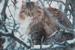 一只美丽的西伯利亚猫的冬天画象 免版税库存图片
