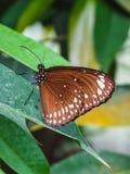 一只美丽的详细的蝴蝶的特写镜头在叶子的 库存照片