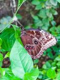 一只美丽的详细的蝴蝶的特写镜头注视坐叶子 库存图片