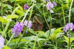 一只美丽的详细的蝴蝶的特写镜头注视坐叶子 免版税图库摄影