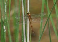 一只美丽的诺福克叫卖小贩蜻蜓,Anaciaeschna isoceles,栖息在芦苇的一个词根在湖的边缘 库存照片