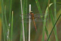 一只美丽的诺福克叫卖小贩蜻蜓,Anaciaeschna isoceles,栖息在芦苇的一个词根在湖的边缘 免版税库存照片