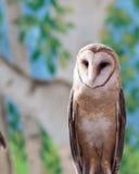 一只美丽的谷仓猫头鹰 免版税库存照片