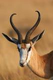 一只美丽的跳羚的画象 免版税库存照片