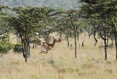 一只美丽的跳跃的飞羚 免版税库存图片