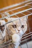 一只美丽的逗人喜爱的英国品种猫在笼子,特写镜头坐 志愿的和帮助的动物的概念 免版税库存照片