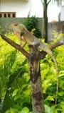 一只美丽的野生印地安庭院蜥蜴 库存照片