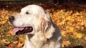 一只美丽的金毛猎犬的画象在下落的秋天叶子的 股票录像