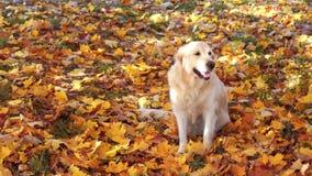 一只美丽的金毛猎犬的画象在下落的秋天叶子的 影视素材