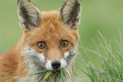 一只美丽的镍耐热铜狐狸狐狸的顶头射击与嘴的有很多草和食物 免版税库存图片