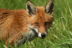 一只美丽的镍耐热铜狐狸狐狸的顶头射击 图库摄影