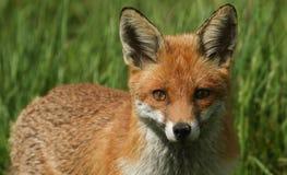 一只美丽的镍耐热铜狐狸狐狸的顶头射击 免版税库存照片