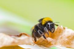 一只美丽的镶边土蜂在自然工作 免版税库存照片