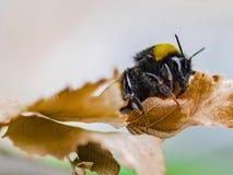 一只美丽的镶边土蜂在自然工作 图库摄影